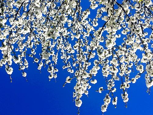lluvia_flores_cerezo